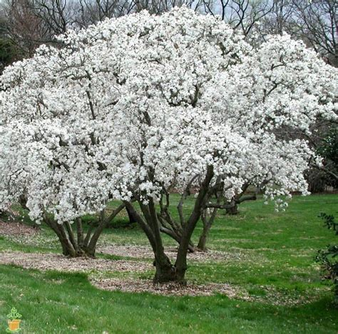 where to plant magnolia tree royal star magnolia tree the planting tree