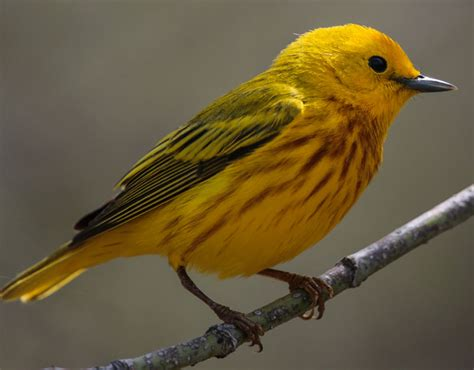 hinterland who s who bird banding in canada