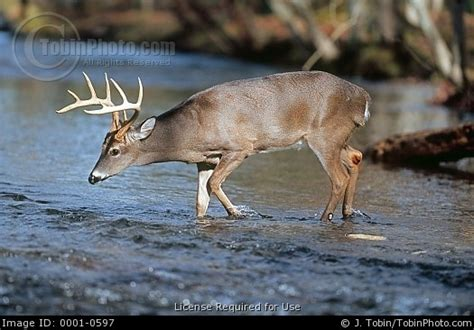 1000 images about whitetail deer on whitetail 1000 images about whitetail deer on deer