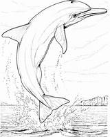 Dolphin Coloring Pages Dolphins Printable Colouring Adults Animals Realistic Ocean Happy sketch template