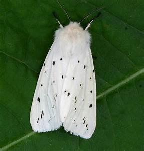 White Ermine