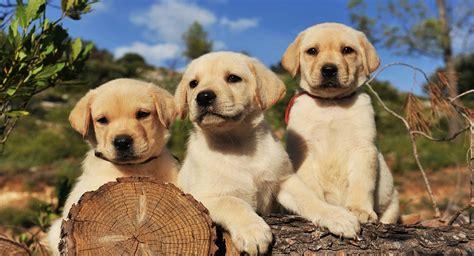 labrador retriever puppies  sale   page
