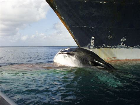 Big Boat Collisions by Un Addresses Issue Of Whale Ship Collisions Constantine