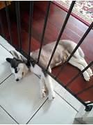 cute sleeping puppies  husky puppy sleeping  Adorable Husky Puppy Sleeping