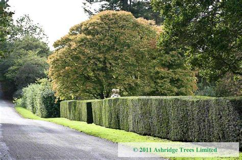 pruning yew trees pruning yew hedges