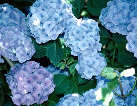 hydrangea flower care hydrangea how to plant grow and care for hydrangea shrubs the old farmer s almanac
