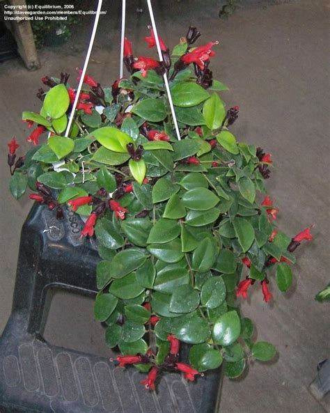 lipstick plant care indoors 17 best ideas about lipstick plant on pinterest rainbow succulent rare succulents and pink