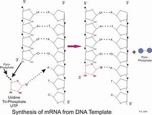 medical physiology basic biochemistry nucleic acids With when an rna strand forms using dna as a template