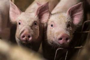 Someone U0026 39 S Telling Porkies  Us Pig Farmers And Traders Deny