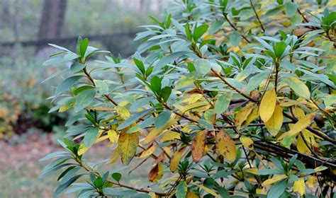 rhododendron leaves turning yellow why are my azalea leaves turning yellow redeem your ground rygblog com