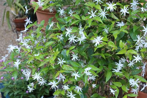 Growing Jasmine In The North  Fading Beauty