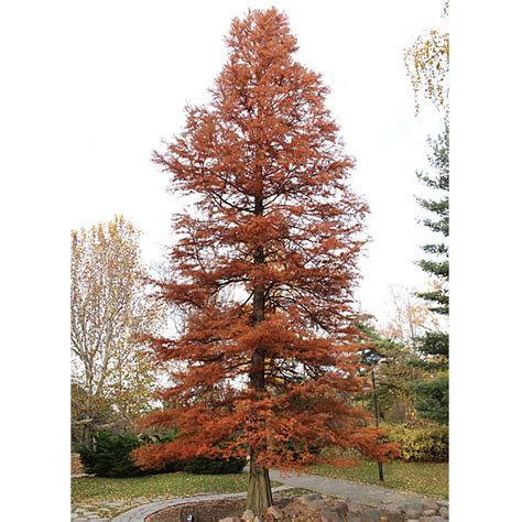Bare Root Bald Cypress (Taxodium distichum)