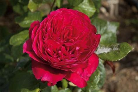 arrosage des rosiers en pot l arrosage des rosiers en pots jardinerie taberner fleurs pr 232 s de salon de provence bouches
