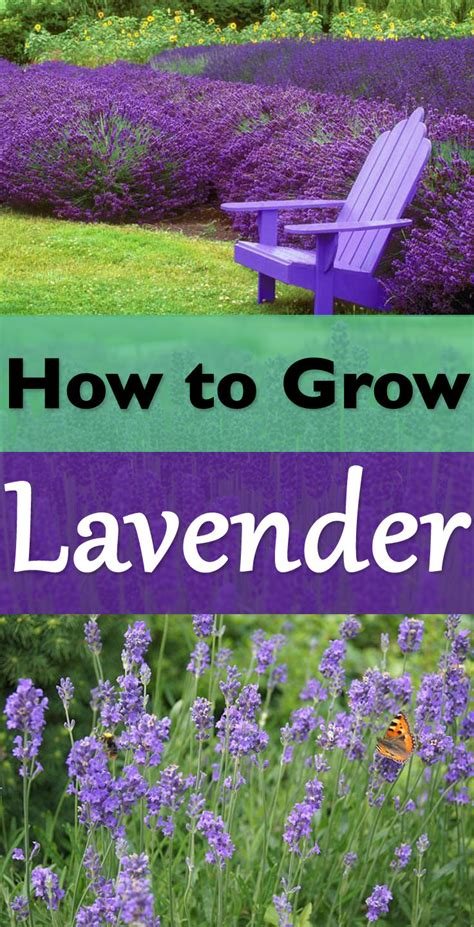 how to plant lavendar how to grow lavender plants