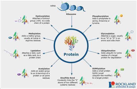 post translational modifications ptm  cohen lab