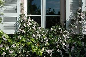 Kletterpflanzen Für Balkon : ab nach oben kletterpflanzen sorgen f r nat rlichen sichtschutz das gr ne medienhaus ~ Buech-reservation.com Haus und Dekorationen