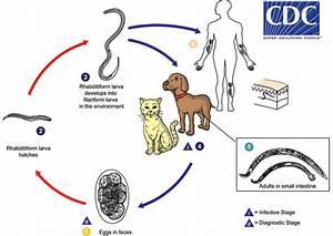 Cdc - Zoonotic Hookworm