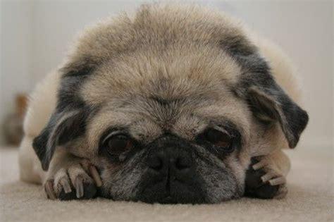 hepatic encephalopathy liver diseases  dogs