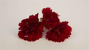 Getrocknete Blüten Kaufen : nelkenbl ten rot essbare bl ten kaufen ~ Orissabook.com Haus und Dekorationen