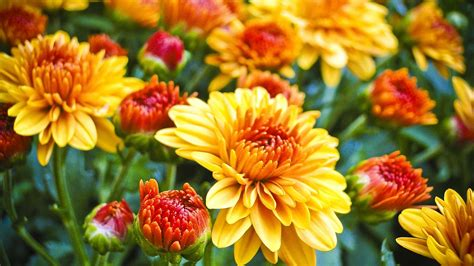 mums in how to make mums last longer gardening advice new england today