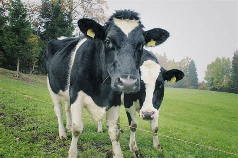 white  black cows  image peakpx
