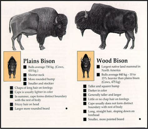 beware of buffalo chips bison covertly translocated for restoration to the west national