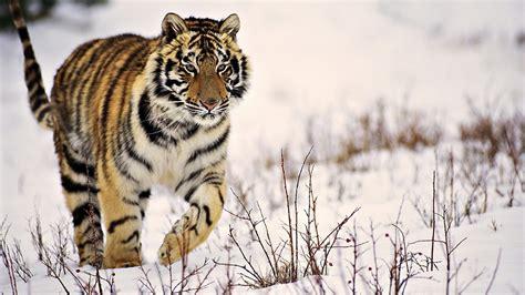 wallpaper tiger wallpaper hd