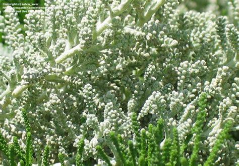 lavender cotton grey lavender cotton santolina chamaecyparissus pictures