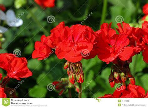 Flower Vases For Sale by Geranium Flower Vases For Sale At A Florist Shop Royalty