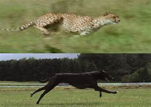 Cheetah vs. Greyhound VIDEO Shows Animals Running In Super ...