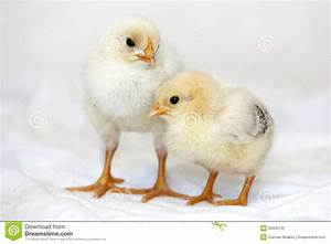 Baby Chickens Stock Photo - Image: 35002130