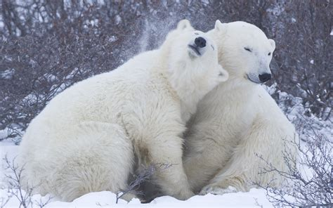 Two Polar Bears Cuddling