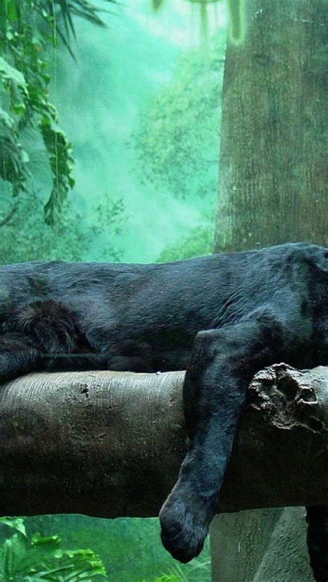 animals puma panthers series black panther rest wallpaper