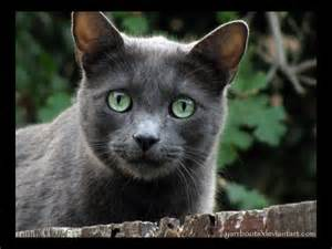 blue gray cat cinderpelt grey fur with green she cat