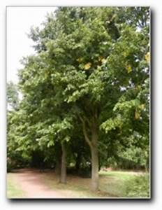 Linde Baum Steckbrief : linde ~ Orissabook.com Haus und Dekorationen