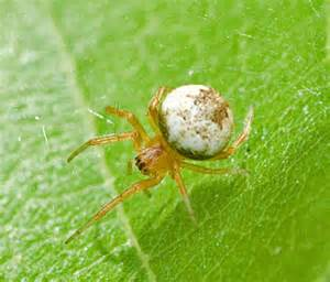 Small Spider with White Body