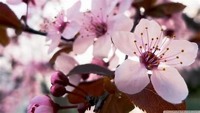 Blossom Cherry Japanese Delicate