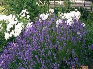 Lavendel Schneiden Im Herbst : stauden lavendel ~ Lizthompson.info Haus und Dekorationen