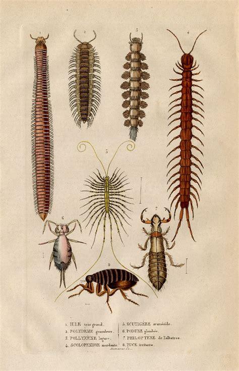 10 Best Centipede Images On Pinterest Centipedes