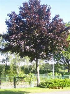 Rote Blätter Baum : fragen an den meister blut ahorn ~ Michelbontemps.com Haus und Dekorationen