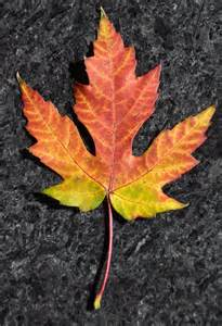 Different Types of Maple Leaves