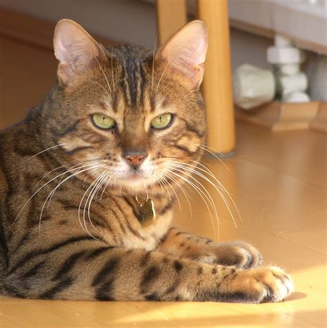 Bea's Bengal Cats Blog