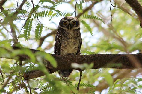 Spotted Owlet [Athene brama brama] on 02/08/2017 at ...