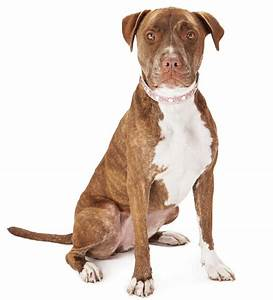 Unravelling the Personality Traits of a Boxer-Pitbull Mix Dog