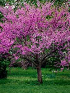 buy flowering trees the tree center