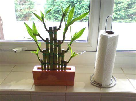 entretien lucky bambou d interieur entretien lucky bambou d interieur sedgu