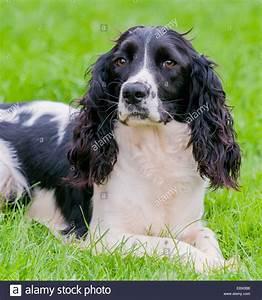 Black & white English Springer Spaniel sat in a field ...
