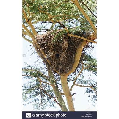 Africa Tanzania Serengeti National Park Nest of weaver