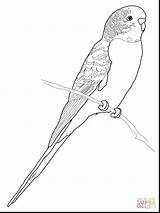 Coloring Budgie Pages Parakeet Parrot Budgerigar Colouring Printable Bird Drawing Budgerigars Clipart Perruche Drawings Adult Coloriage Supercoloring Budgies Version Crafts sketch template