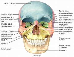Diagram  Anatomy Human Skull Labeled Diagram